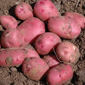 patata vermella